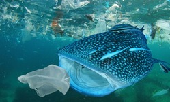 Browse partner whale shark eating plastic